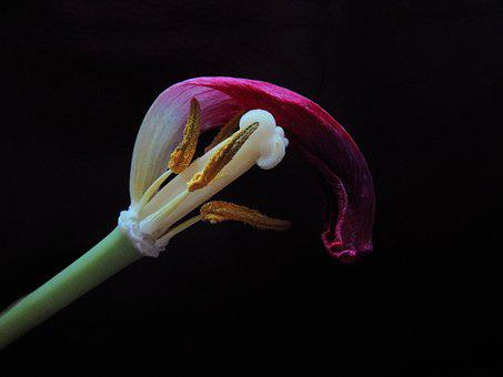 Tulip, Overblown, Pestle, Stamens, Bloom, Nature