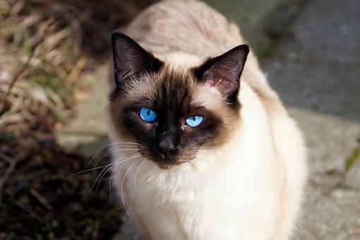 Cat, Siamese Cat, Fur, Kitten, Breed Cat, Siamese, Siam
