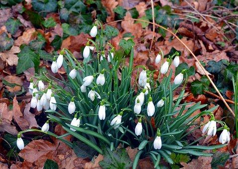 Snowdrop, Snowflake, Maerzgloeckchen, Spring Flower