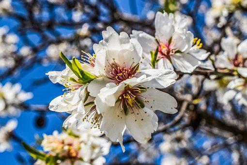 Almond Tree, Flower, Nature, Spring, Blossom, Branch