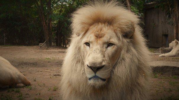 Lion, White Lion, Mane, Zoo