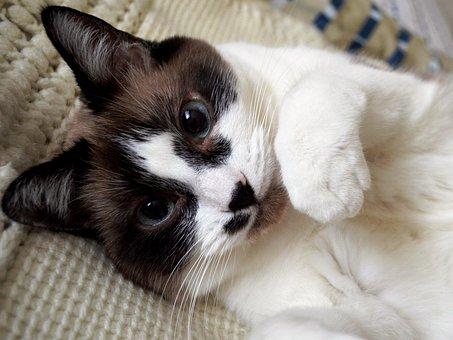 Cat, Siamese, Kitty, Pet, Animal, Cute, Domestic