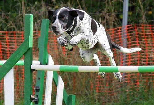 Dog, Agility, Jumping, Training, Canine, Animal, Breed