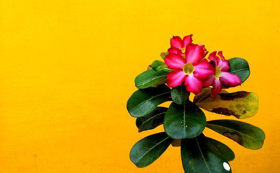 Pink, Red, Rose, Flower, Leaf, Bamboo, Nature, Plant