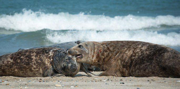 Grey Seals, Bite, Beach, Helgoland, North Sea