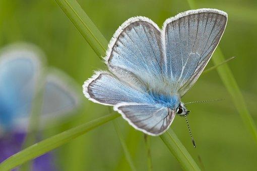 Mongolia, Halyamaat, Buterflies, Blue, Resting, July