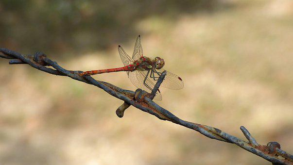 Dragonfly, Insect, Barbed Wire, Escape, Rusty, Summer