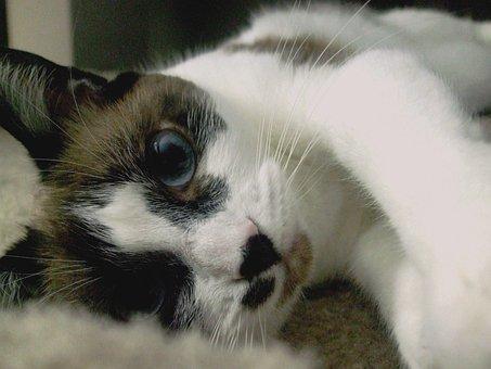 Cat, Siamese, Kitty, Mix, Animal, Pet, Feline, Fur