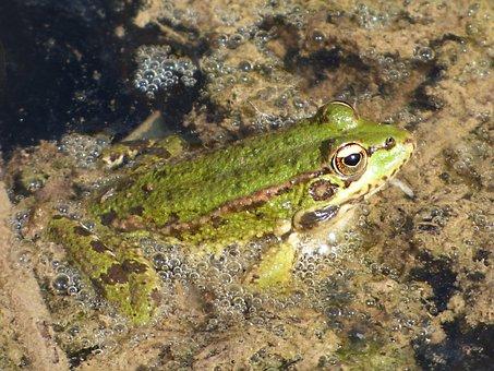 Frog, River, Algae, Batrachian, Green Frog