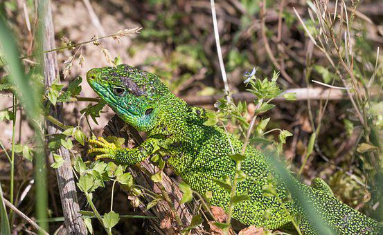 Lizard, Emerald Lizard, Animal, Lacerta Bilineata