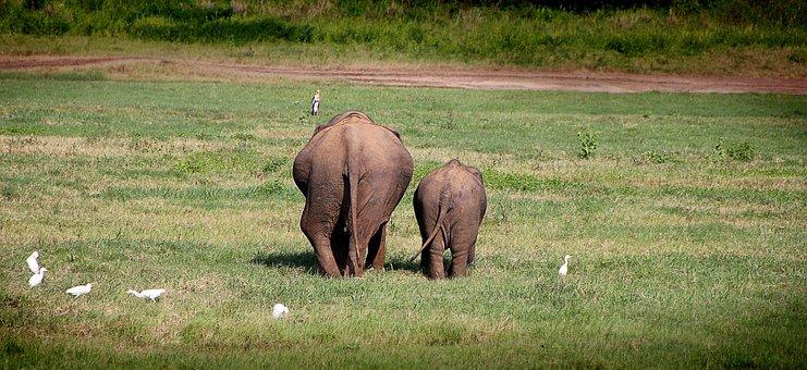 Elephant, Move, Back, Safari, Butt, Wild Animals, Rear