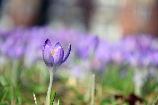 Crocus, Spring, Purple, Flower, Meadow, Nature