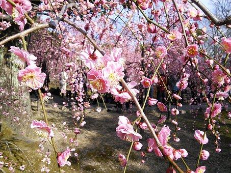 Plum, Shidare Plum Trees, Shrine, Kanbai, Plum Blossoms