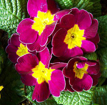 Primrose, Spring Flower, Bishop's Purple