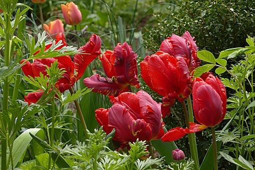 Flower, Tulip, Parrot Tulip, Tulipa, Red, Spring