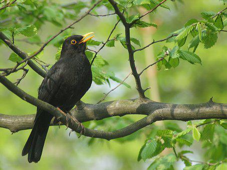 Blackbird, Males, Species, Widely Used, Europe, Spring