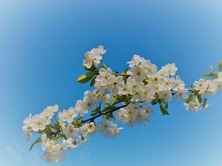 Flowering Sloe, Spring, White Flowers, The Delicacy