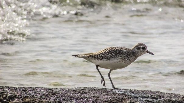 Stint, Grey, Seabird, Migratory, Nature, Wild, Fauna