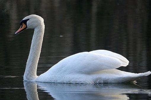 Swan, Water, Lake, Noble, White, White Swan, Swim