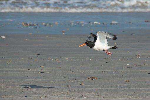 Oystercatcher, Bird, Fly, Water Bird, Sea, Red Beak