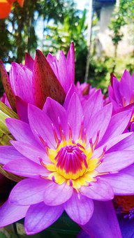 Lotus, Blue Water Lily, Flower, Nature, Water Lily