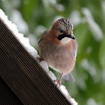 Bird, Jay, Garrulus Glandarius, Winter, Snow, Foraging