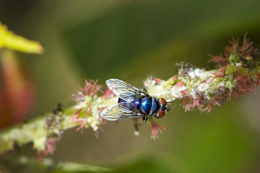 Macro, Blue Fly, Africa, Old Flower, Wilted, Fly