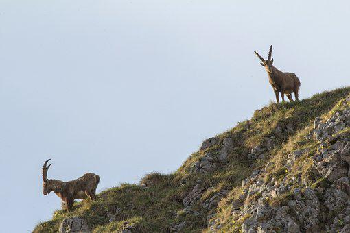 Capricorn, Alpine Ibex, Animal, Alpine, Mountains, Rock