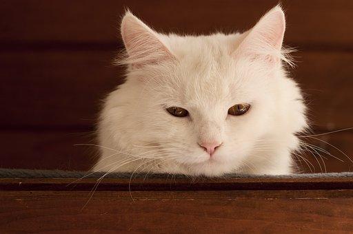 White, Cat, Cute, Pet, Animal, Domestic, Feline, Fur