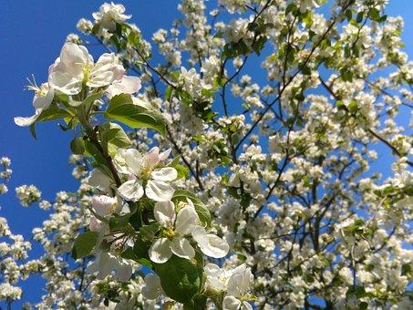 Flowering Crabapple, Spring, Apple Flower, Tree, Fruit