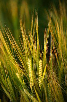 Cereals, Barley, Field, Spike, Grain, Agriculture