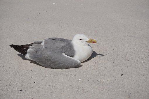 Seagull, Islands, Cies, Beach, Nature