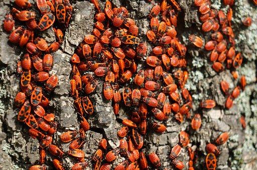 Firebug Pospolná, Bug, Beetles, Ruměnice Bezkřídlá