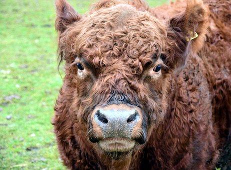 Highland Beef, Bull, Boy, Galoway, Brown, Shaggy, Beef