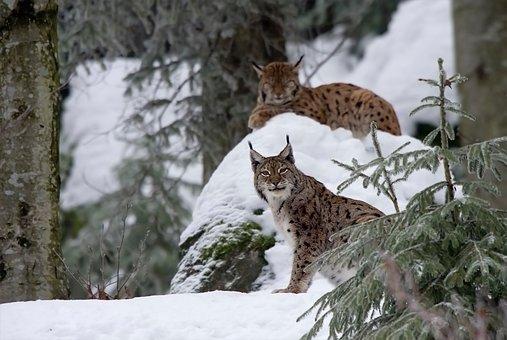 Lynx, Cat