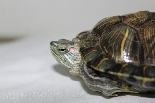 Turtle, Looking, Natural, Environment, Water, Kid