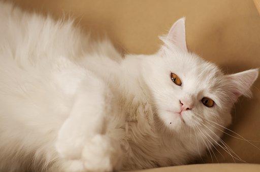 Fluffy, White, Cat, Pet, Cute, Adorable, Domestic