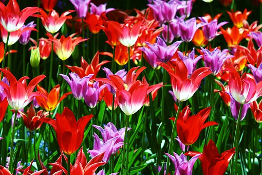 Triumph Tulips, Red, Yellow, Grass, Green, Flowers