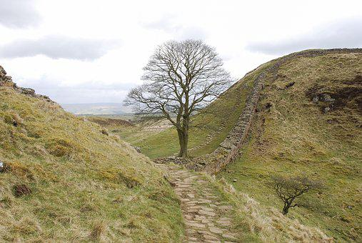 Sycamore Gap, Hadrian's Wall, Northumberland, Tree