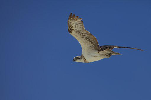 Bird, Osprey, Indonesia, Halmahera, Widi Islands