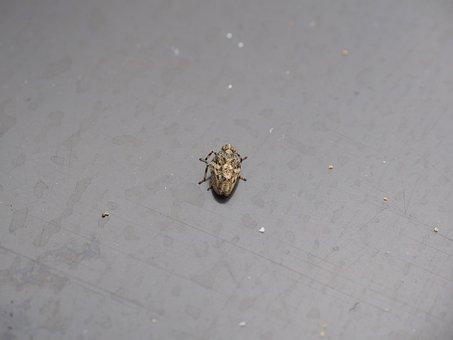 Issus Coleoptratus, Insect, Cicada, Käferzikade