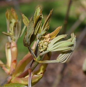 Leaves And Flower Bud, Japanese Chestnut Tree, Chestnut