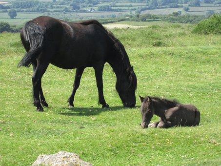 Dartmoor, Mare, Foal, Pony, Moorland, Breed