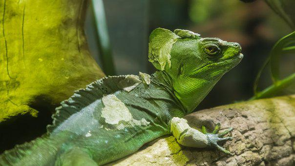 Lizard, Dragon, Zoo, Chinese Water Dragon, Melbourne