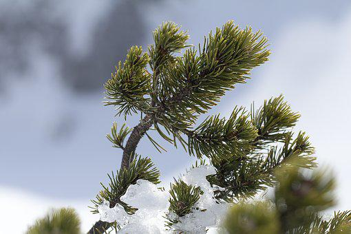 Pine, Pinus Mugo, Mountain Pine, Place Pine, Dwarf Pine