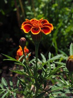 Marigold, Blossom, Bloom, Red, Orange, Sky, Blue