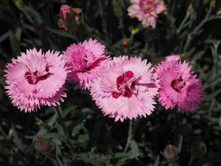 Cloves, Pentecostal-carnation, Pinnate, Pink