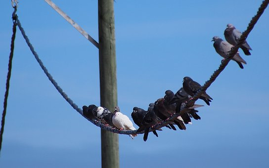 Birds, Birds On The Rope, Pigeon, Sky, Perched