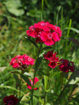 Carnation, Sweet William, Flowers, Red