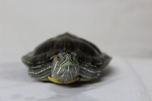Turtle, Looking, Animal, Tortoise, Nature, Reptile